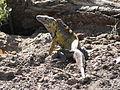 Iguana del Parque las Riveras.JPG