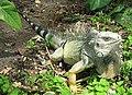 Iguana iguana colombia3.jpg