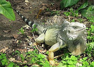 Iguana Iguana Photo taken at the Zoo Sta Fe Me...