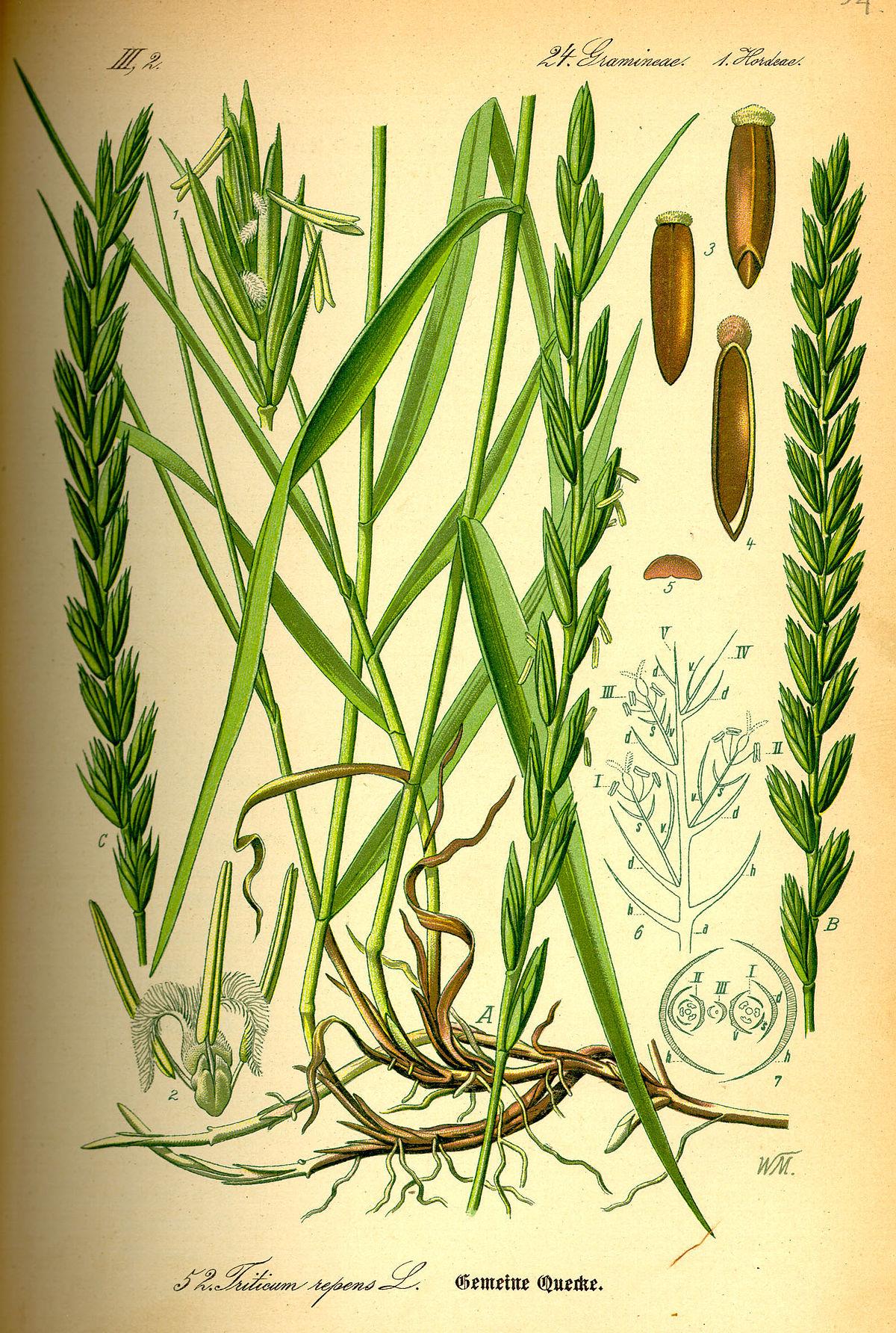Kriech-Quecke – Wikipedia