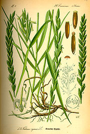 Illustration Elytrigia repens0