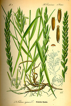 http://upload.wikimedia.org/wikipedia/commons/thumb/1/15/Illustration_Elytrigia_repens0.jpg/250px-Illustration_Elytrigia_repens0.jpg