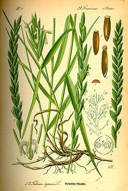 Varputis vikipedija