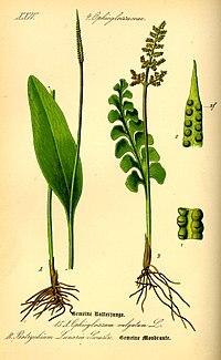 Illustration Ophioglossum vulgatum0.jpg