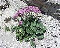 Image-Adenostyles alpina31072004.JPG
