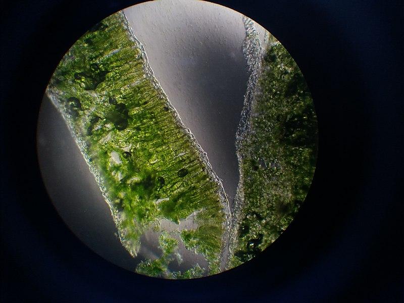 File:Imagen de corte en hoja de acelga en microscopio optico con aumento de 40x.jpg