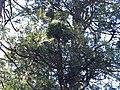 Incense Cedar Broom Rust (39963020330).jpg