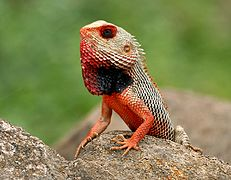Indian Garden Lizard (Calotes versicolor) in AP W IMG 9922.jpg