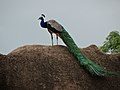 Indian Peafowl - Peacock pic2.jpg