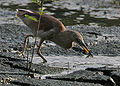 Indian Pond Heron (Ardeola grayii) in Breeding plumage with a catch in Kolkata I IMG 7934.jpg