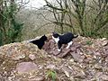 Inquisitive Cats, Top of Old Quarry, Trenewydd Lane, Llanteg - geograph.org.uk - 1173163.jpg
