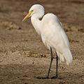 Intermediate Egret (Mesophoyx intermedia) W IMG 6625.jpg