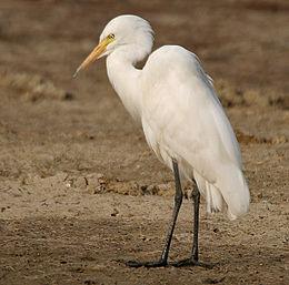 Intermediate Egret (Mesophoyx intermedia) W IMG 6625
