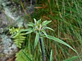 Inula ensifolia 2017-06-25 3167.jpg
