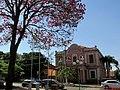 Ipê-roxo (Handroanthus impetiginosus) na Praça Coronel Orlando, em frente a Prefeitura Municipal de Orlândia. - panoramio.jpg
