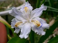 Iris japonica1 flower