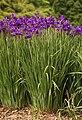 Iris sanguinea, John J Tyler Arboretum, Media, Pennsylvania - 20070526.jpg