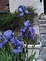 Irises - panoramio.jpg