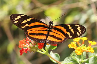 <i>Eueides</i> genus of insects