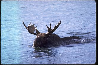Isle Royale National Park - Moose swimming at Isle Royale.