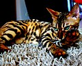 Issey Bengal Cat (63061957).jpeg