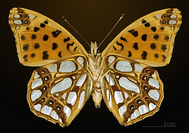 File:Issoria lathonia MHNT CUT 2013 3 24 Meyrueis Female Ventral.jpg
