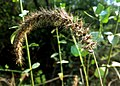 JNU Grass Flower.jpg