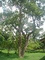 Jaam tree1.JPG