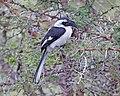 Jackson's Hornbill (Tockus jacksoni) female (20992267669).jpg