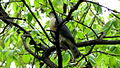Japanese sparrowhawk Male04.jpg