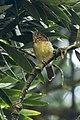 Javan Fulvetta - Chibodas Gardens - West Java MG 4590 (30117376492).jpg
