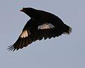 Javan myna in flight - Flickr - Lip Kee.jpg