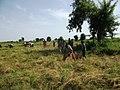Jeunes du village aidant une famille pour la moisson du fonio (Mali) 2.jpg