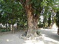 Jf9408Pterocarpus indicus Lubaofvf 22.JPG