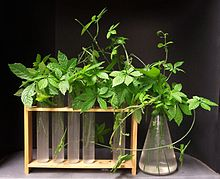gynostemma pentaphyllum wikipedia. Black Bedroom Furniture Sets. Home Design Ideas