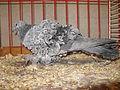 Jielbeaumadier pigeon frise grison bleu agr paris 2013.jpeg