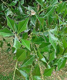 jodina rhombifolia wikipedia la enciclopedia libre