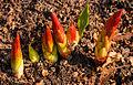 Jonge scheuten van Euphorbia griffithii 'Fireglow'. Locatie, Tuinreservaat Jonker vallei.jpg