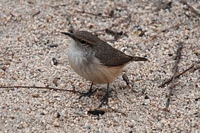 Description de l'image Joshua Tree - Rock Wren.jpg.