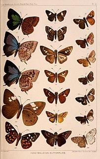 <i>Onryza meiktila</i> species of insect