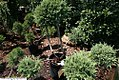 Juniperus chinensis Hetzii Glauca 3zz.jpg