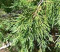 Juniperus scopulorum 3.jpg