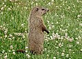 Juvenile Groundhog in a Field of Clover.jpg
