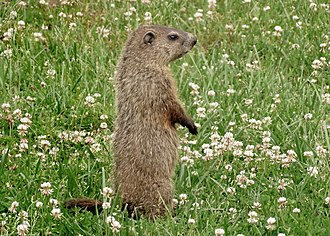 Groundhog - Clover is a preferred food source for groundhogs