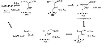 Lysine 2,3-aminomutase - Image: KAM Mechanism
