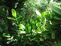 Kampong - Garcinia spicata 2