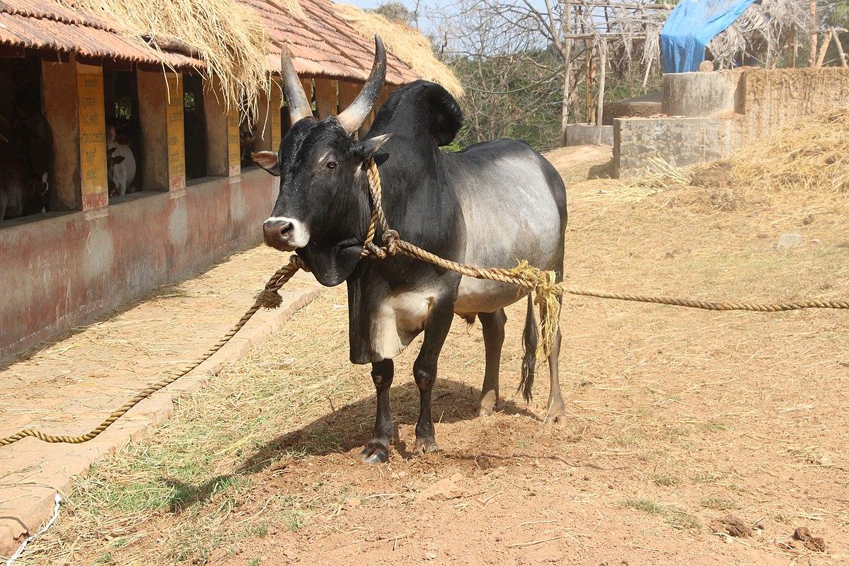 kangayam cattle wikipedia