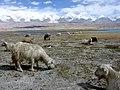 Karakul-cabras-d02.jpg