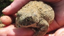 File:Kim-Norman-Land-management-and-natterjack-toads-at-Talacre.webm