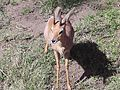 Klipspringer San Diego Zoo.jpg
